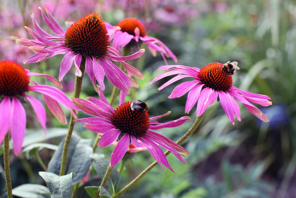 A couple of bees collecting nectar from the purple coneflowers.