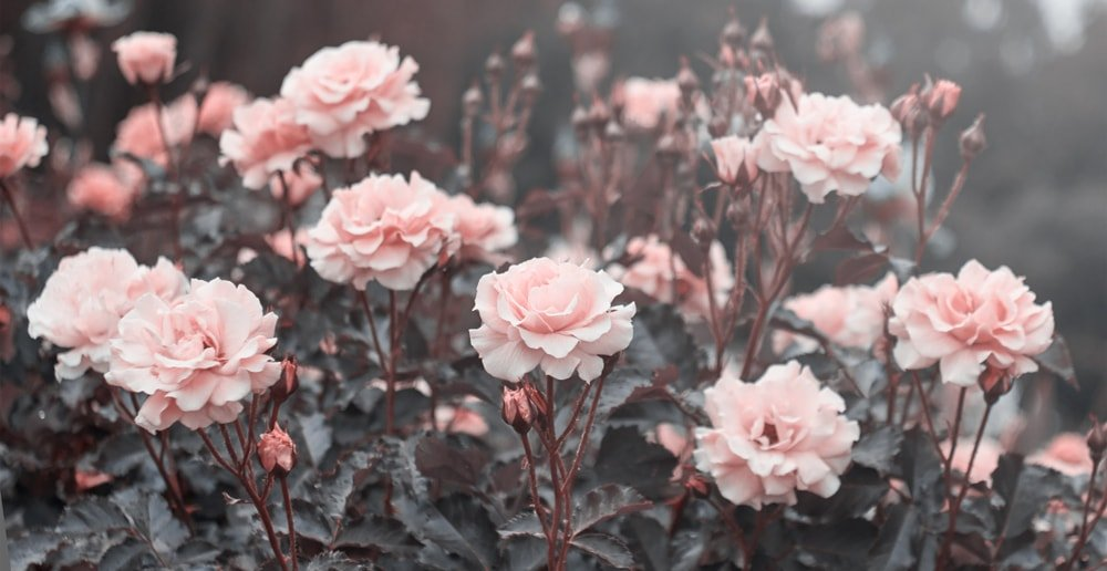 A garden of charming pink roses.