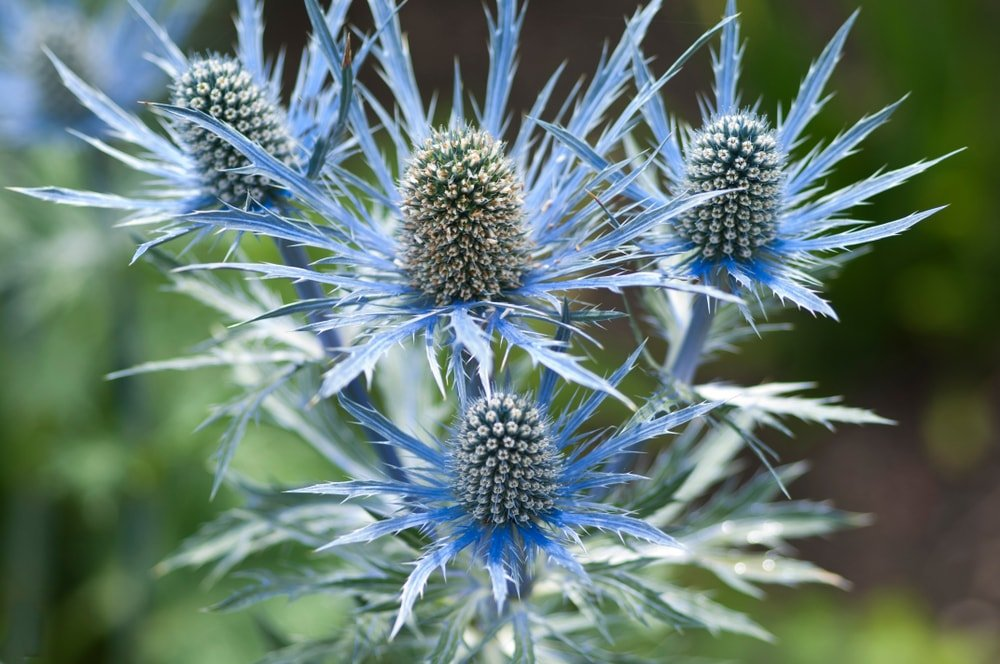 A beautiful cluster of sea holly flowers.