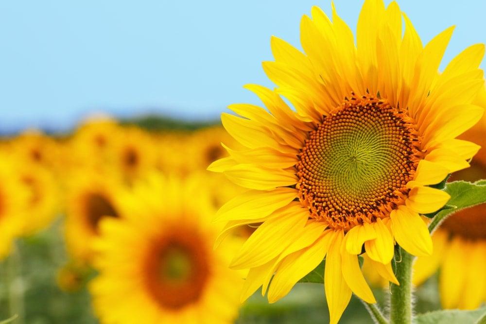 A vibrant sunflower in full bloom.