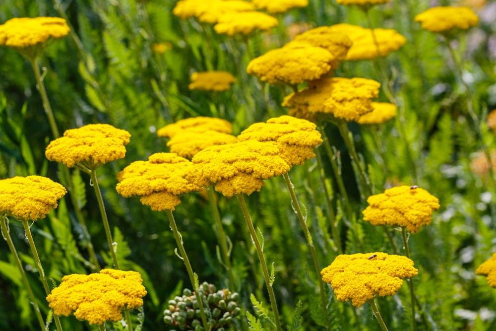 Clusters of sunny yellow yarrow flowers.