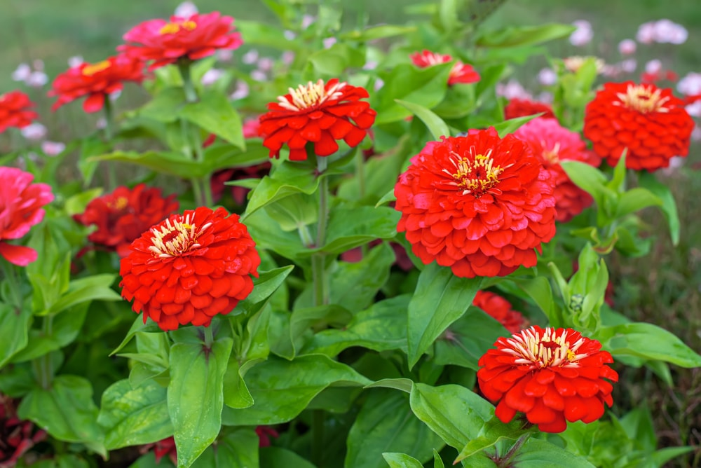A garden for vibrant red zinnia flowers.