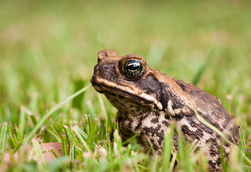 Cane toad sitting on grass.