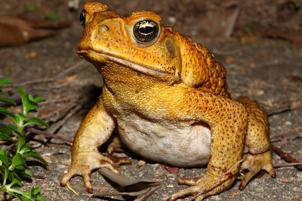 Close up image of a cane toad.