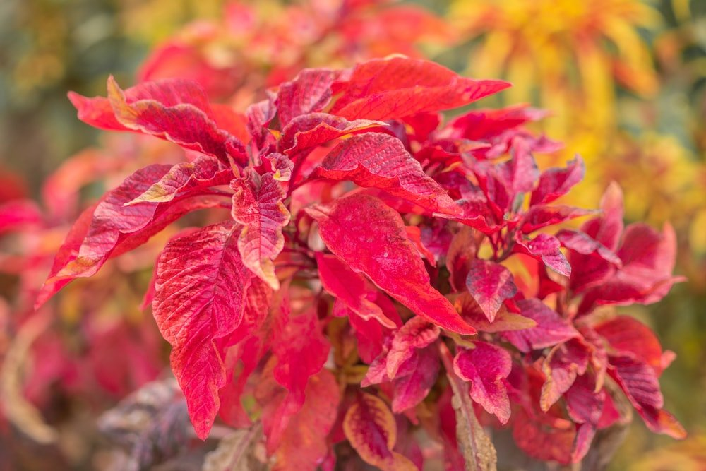 A close look at vibrant red amaranthus flowers.