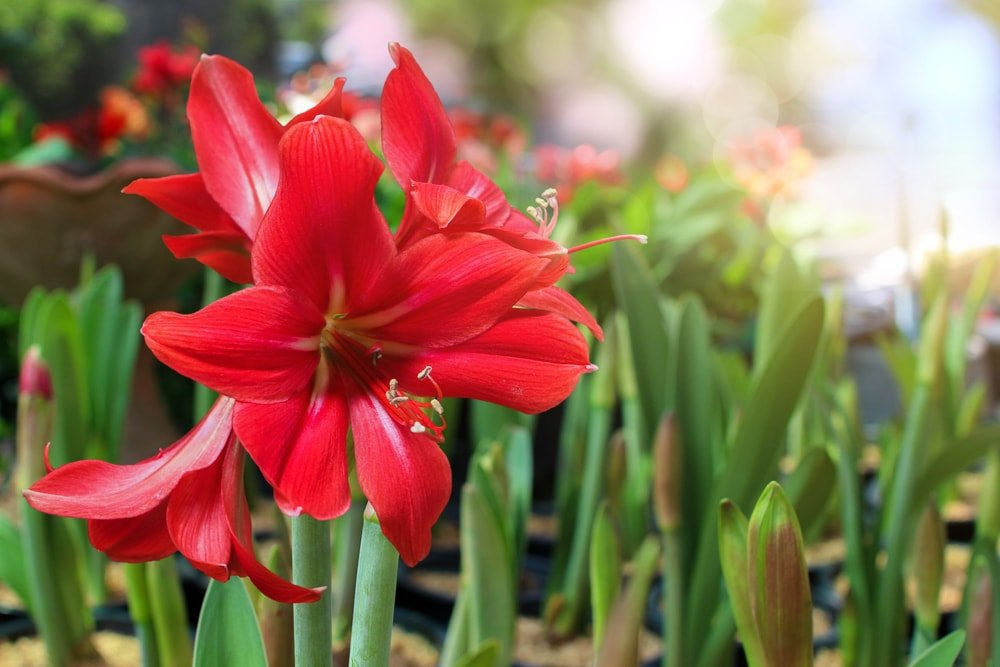A cluster of vibrant red amaryllis flowers.