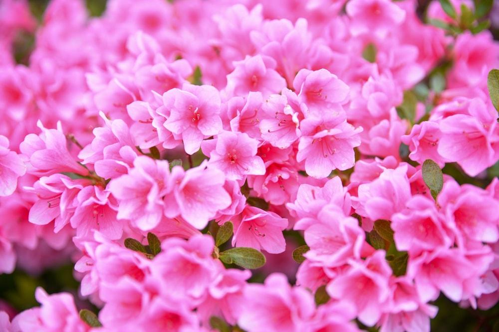 A close look at pink azaleas.