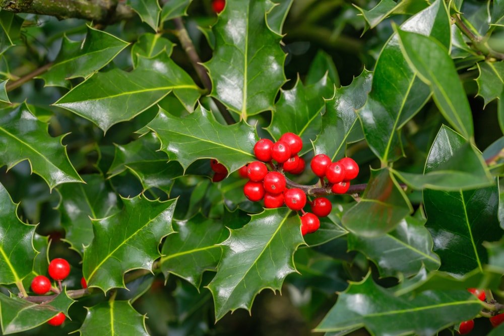 A close look at a cluster of Christmas holly.