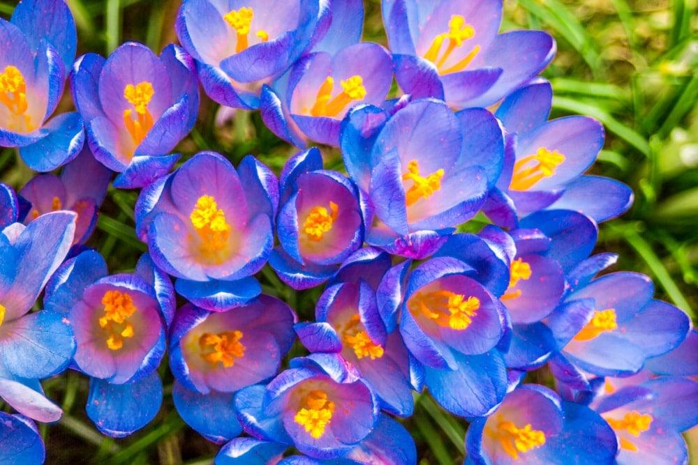 A cluster of blue crocus flowers in bloom.