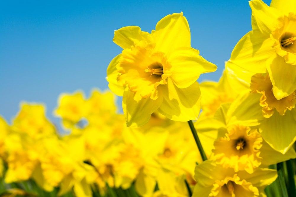 A close look at brilliant yellow daffodils.