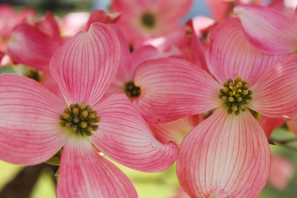 A close look at a couple of dogwoods in bloom.