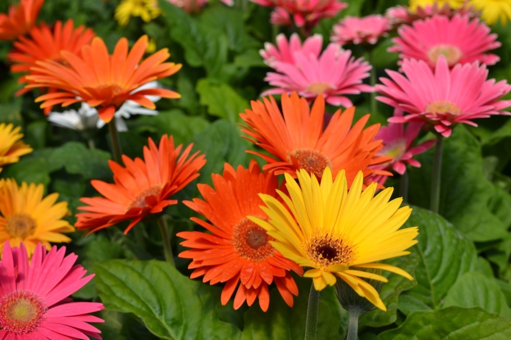A bunch of colorful gerbera daisies.