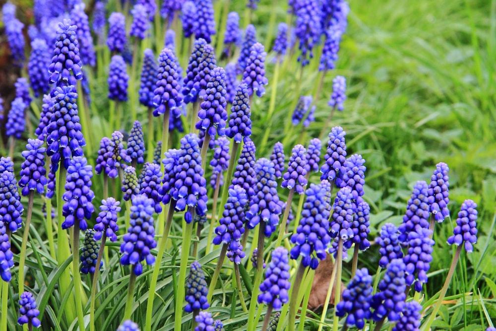 A close look at a garden of grape hyacinth.