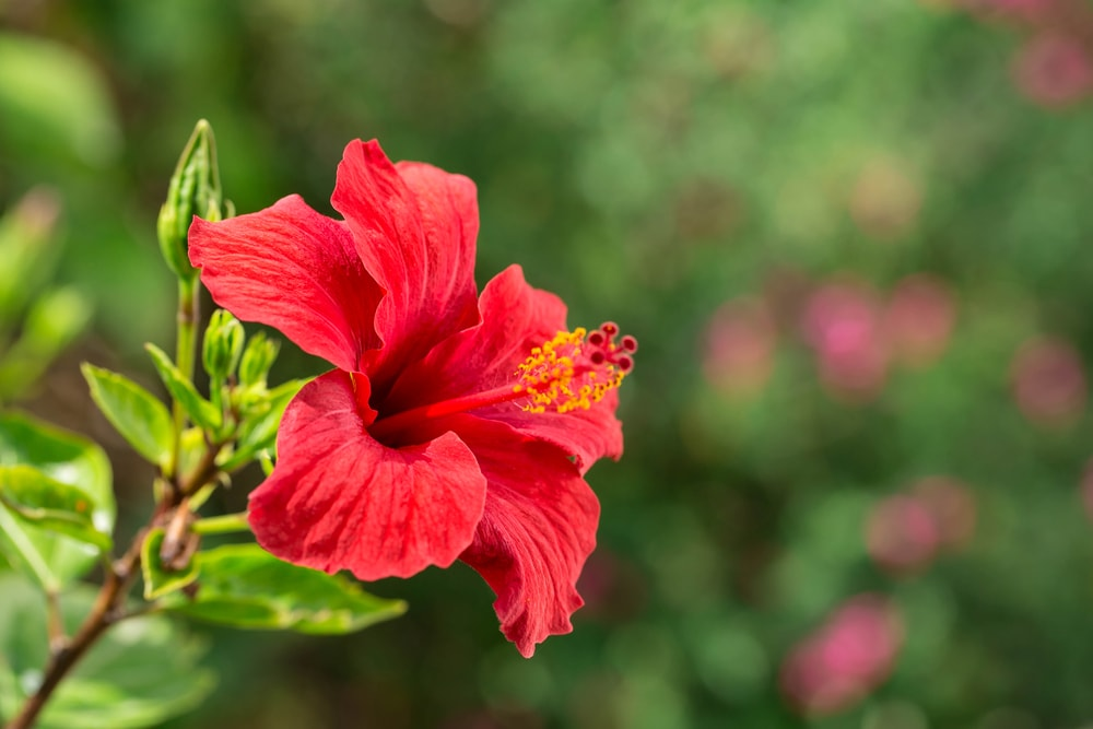A single red hibiscus flower in bloom.