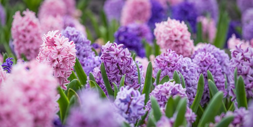 Multiple clusters of colorful hyacinth flowers.
