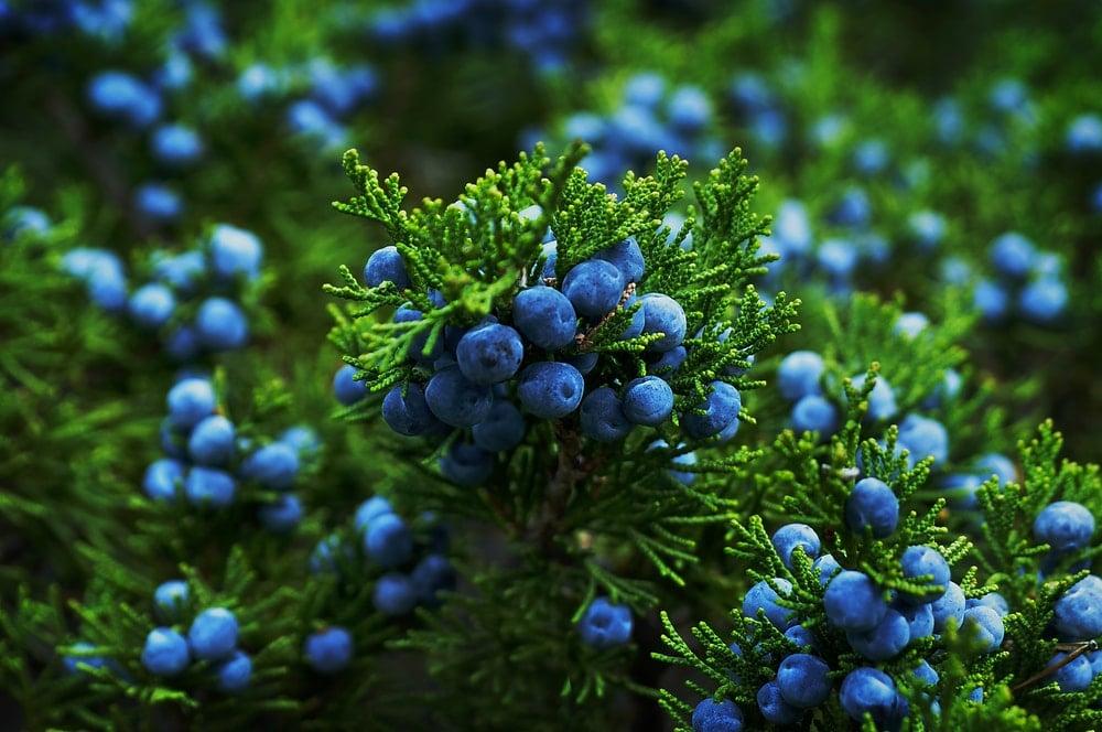 A close look at a juniper bush with berries.