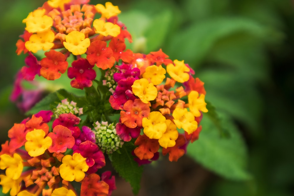 Colorful clusters of Lantana.