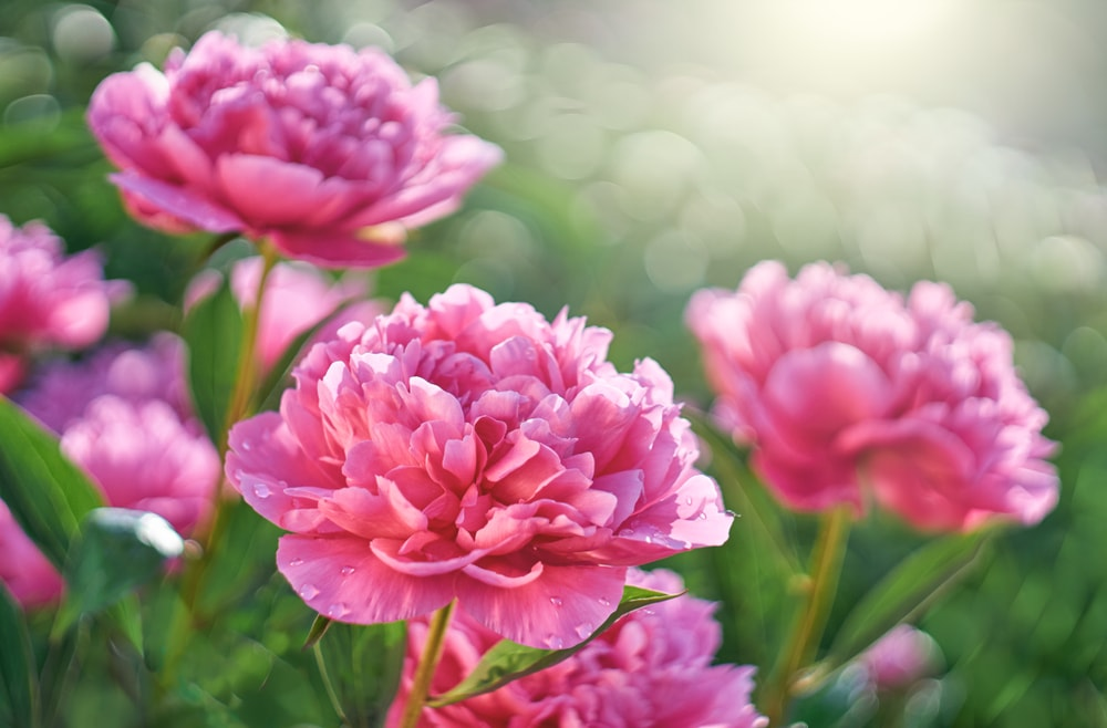 A close look at a garden of peonies bathed in sunlight.