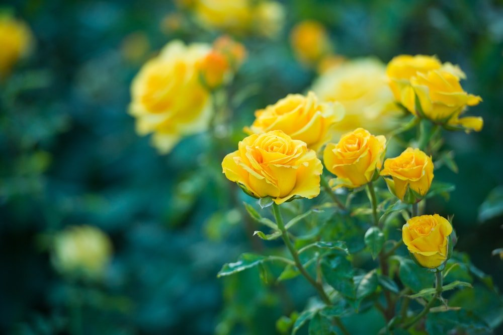 A close look at a garden of blooming yellow rose.