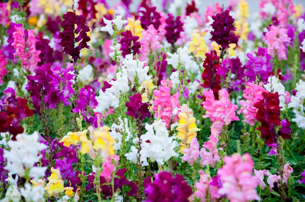 A garden filled with colorful snapdragons.