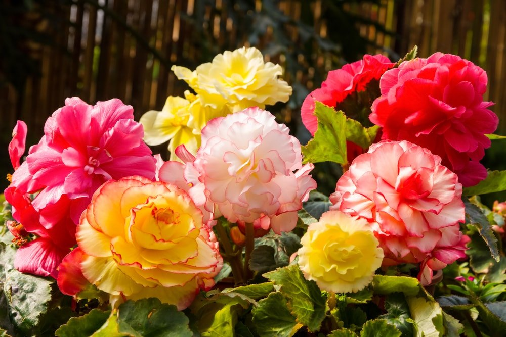 A bunch of colorful tuberous begonia in bloom.