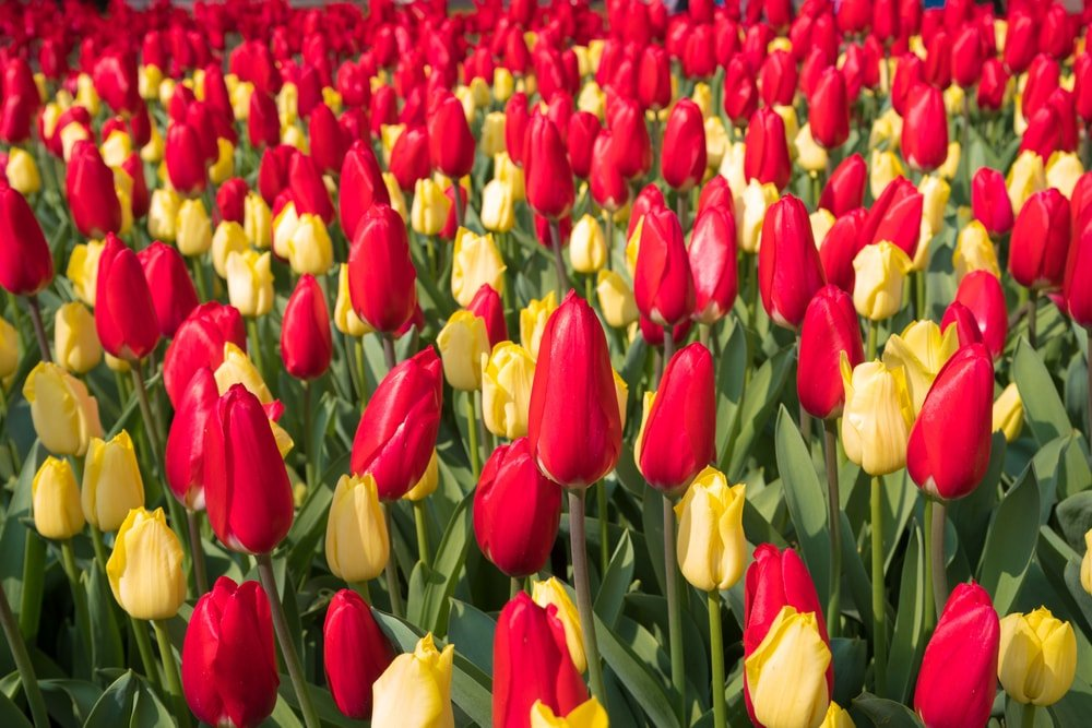 A close look at a field of red and yellow tulips.