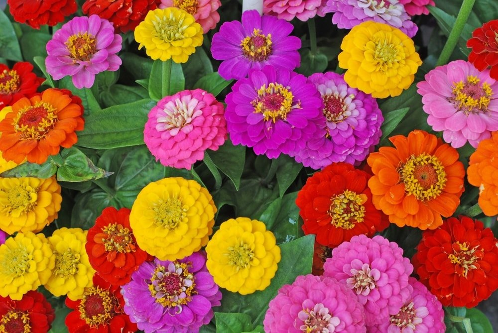 A bunch of colorful zinnias in bloom.
