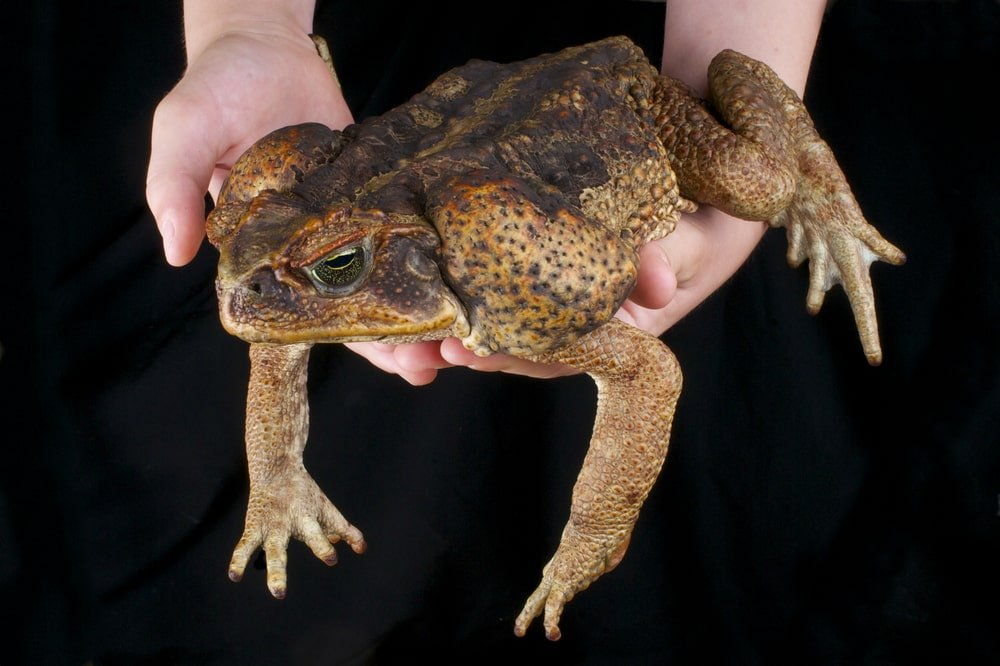 Hands holding a cane toad.