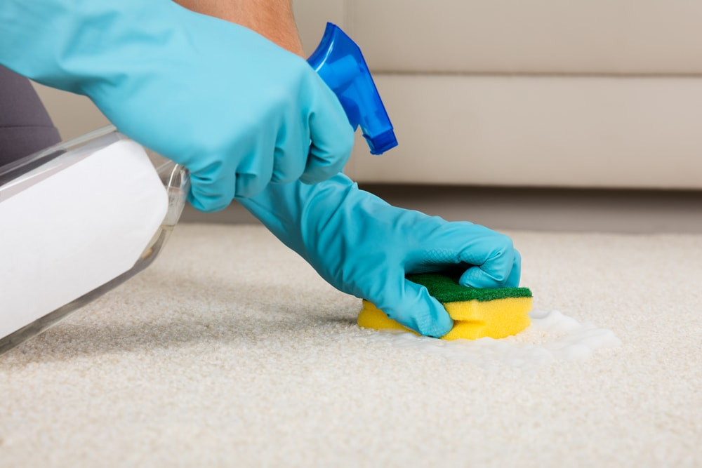 Gloved hands cleaning the light beige carpet with a sponge and spritzer.