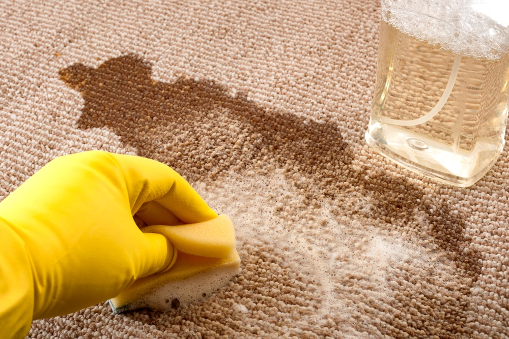 A gloved hand cleaning the brown carpet with a sponge and a spritzer.