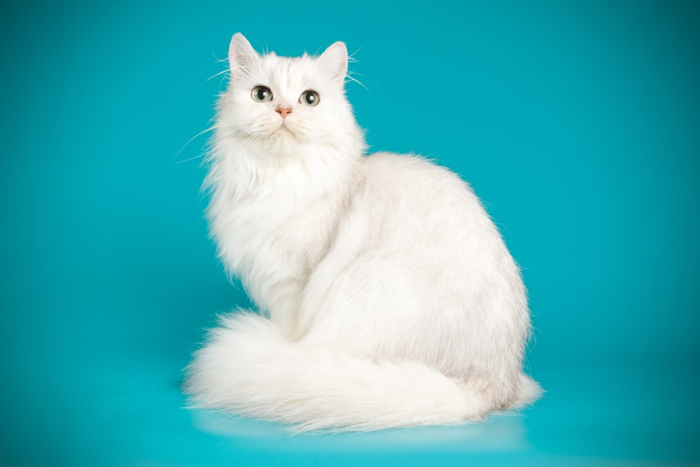 A furry white cat against a green background.
