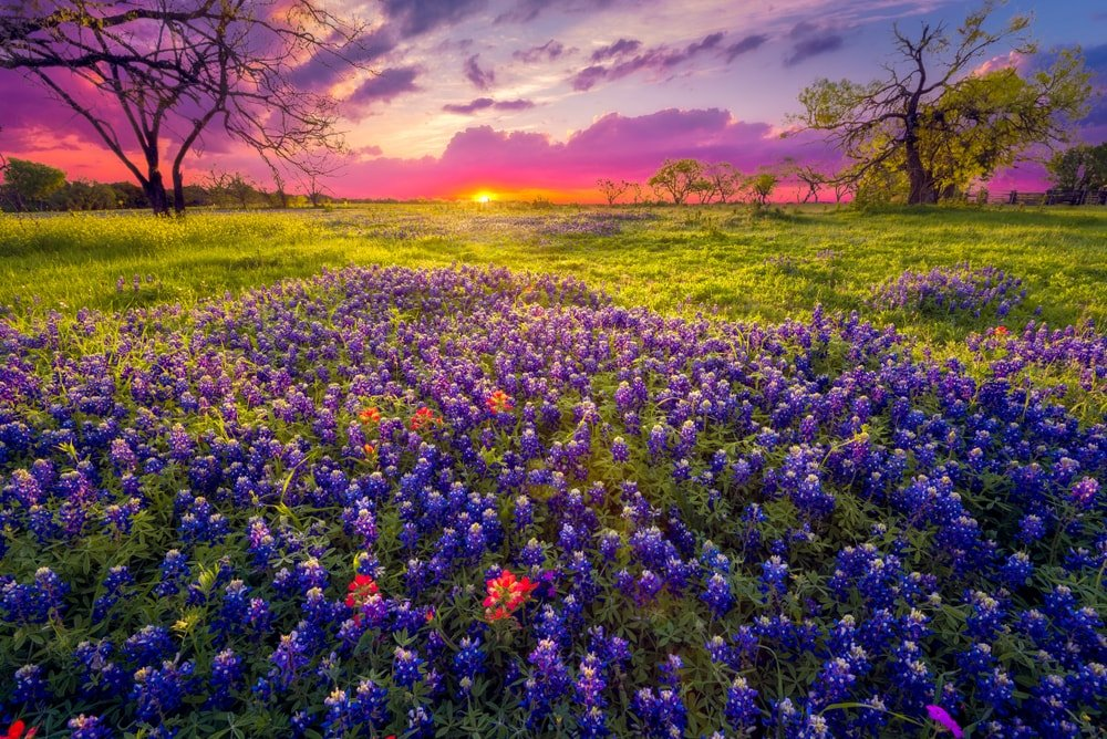 A field of Bluebonnet flowers in a vast lawn.