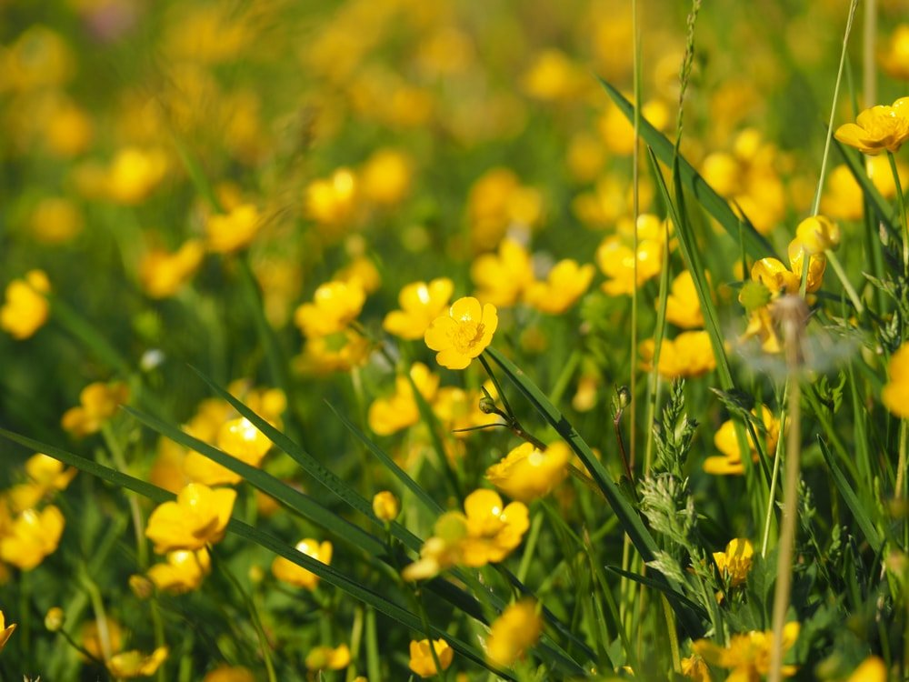 A close look at clusters of bright yellow Buttercups.