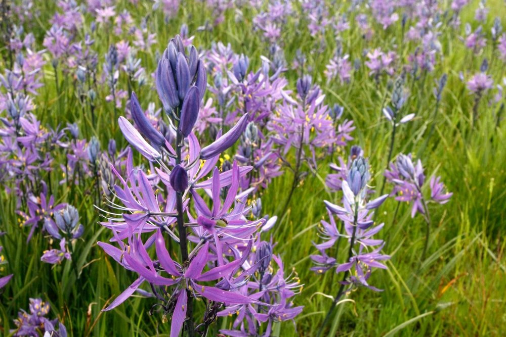 A close look at a garden filled with purple Camassia flowers.