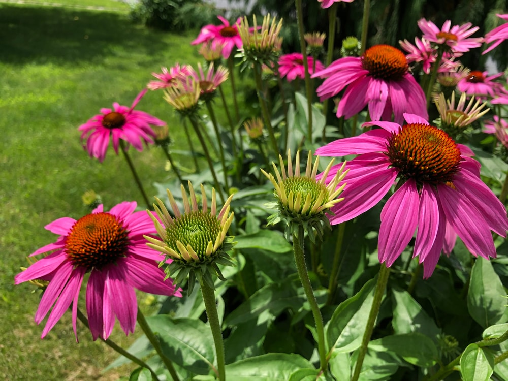 Purple Coneflowers in a garden beside a grass lawn.
