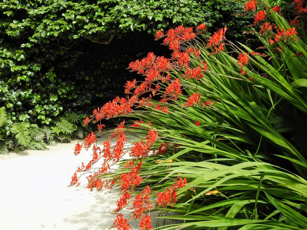 Clusters of crocosmia growing on the side of the road.