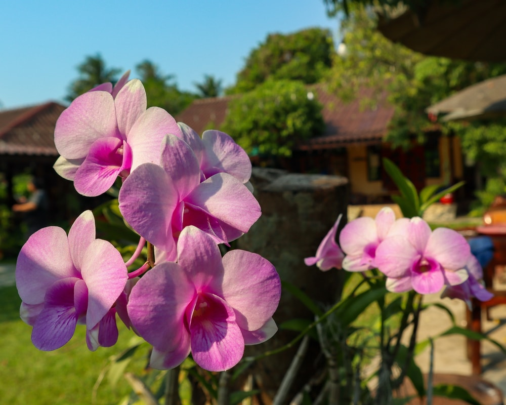 Clusters of purple Dendrobium flowers in a garden.
