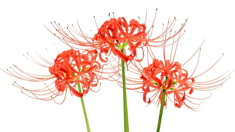Three pieces of vibrant red Hymenocallis flowers.