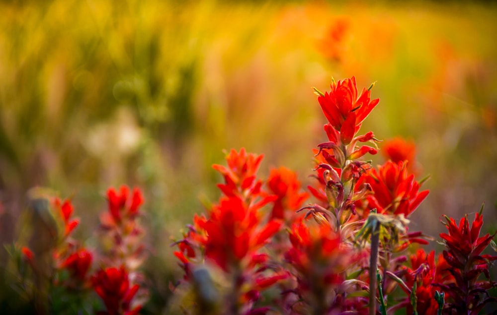 A close look at clusters of Indian Paintbrush flowers.