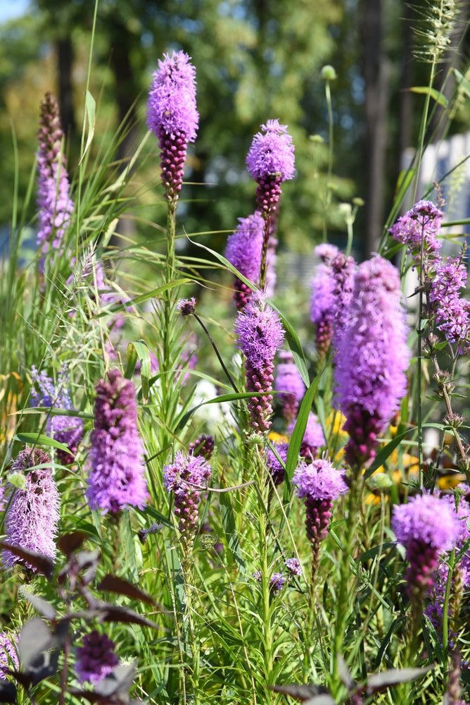 A close look at a garden of purple Liatris flowers.