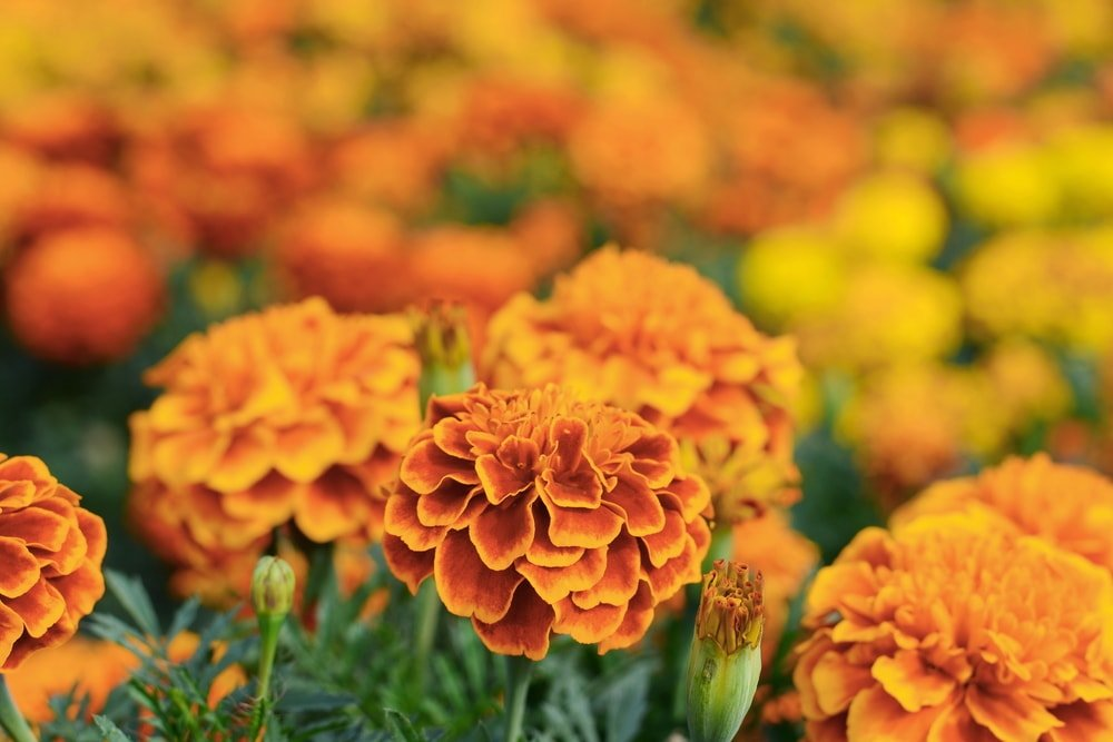 A close look at a vibrant orange garden of Marigolds.