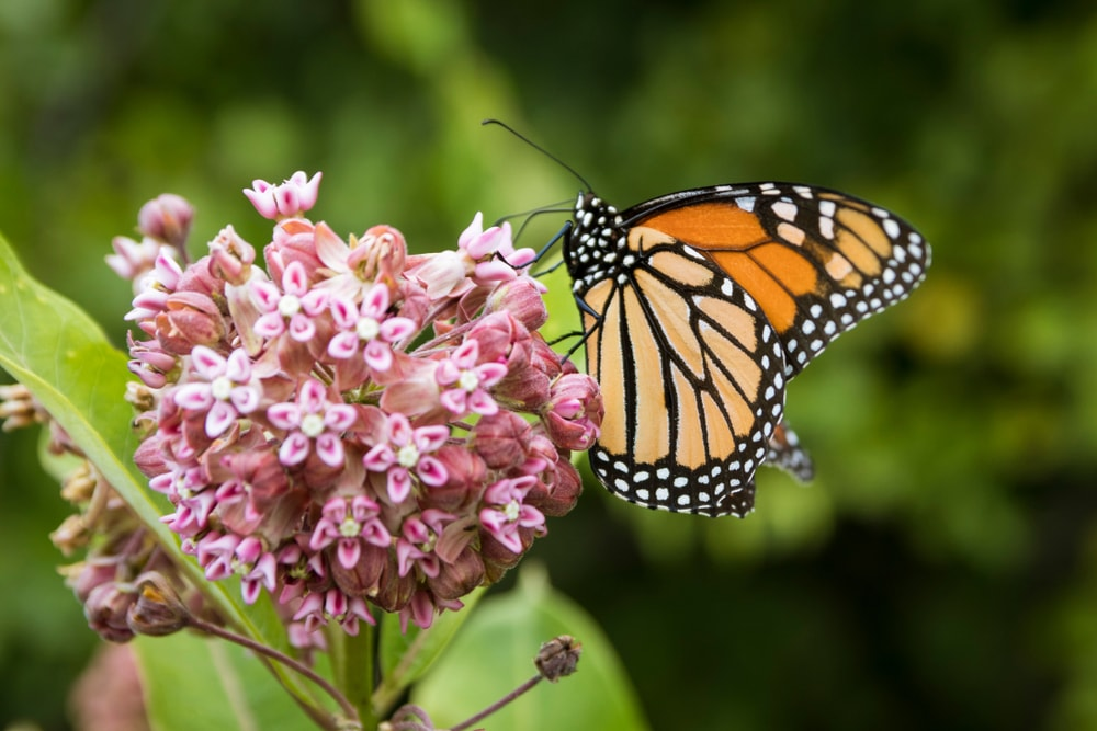 A single cluster of Milkweed with a butterfly.
