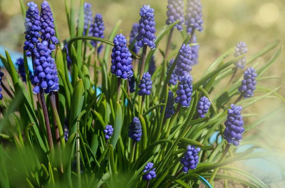 A close look at clusters of deep purple Muscari flowers.