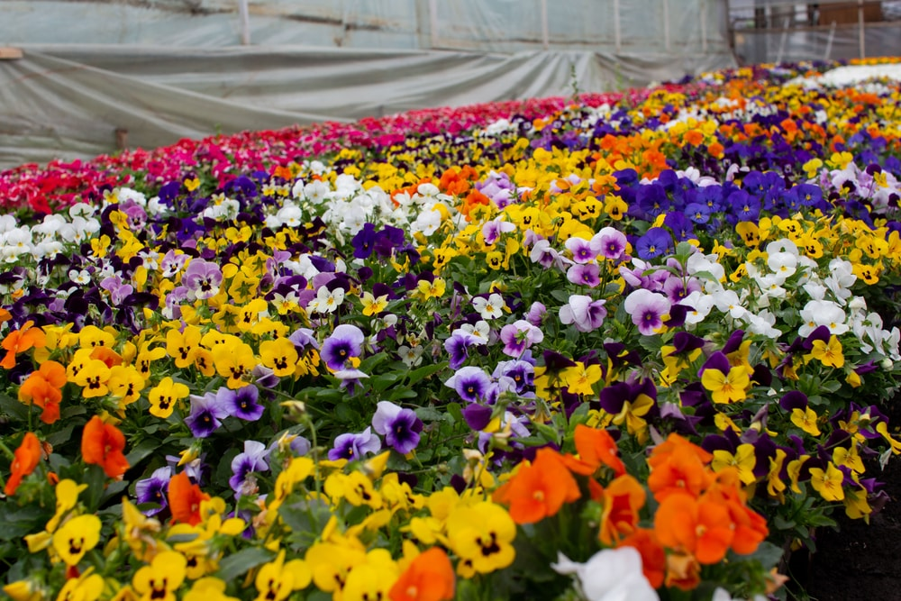 A colorful garden filled with Pansies.
