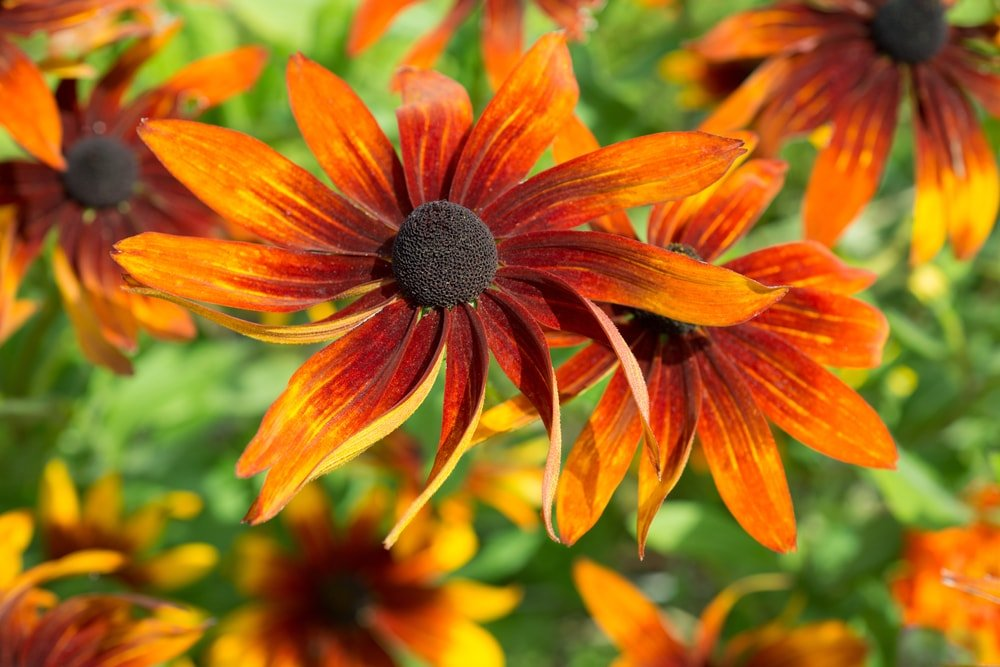 A close look at orange blooming Rudbeckia flowers.
