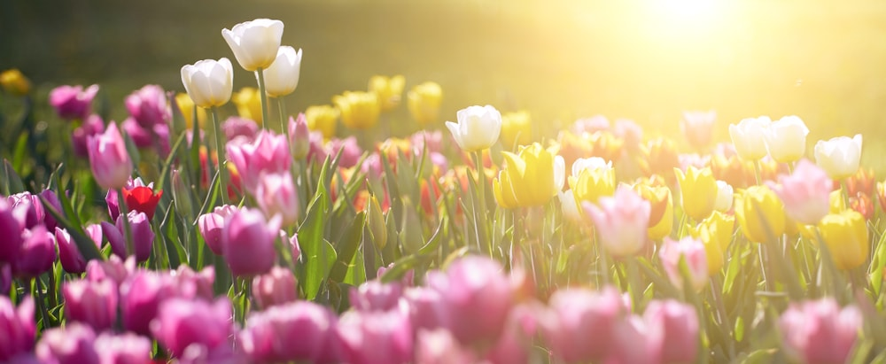 A field of colorful Tulips bathed in sunlight.