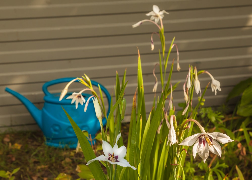 A cluster of Acidanthera in the garden with a blue water spout.