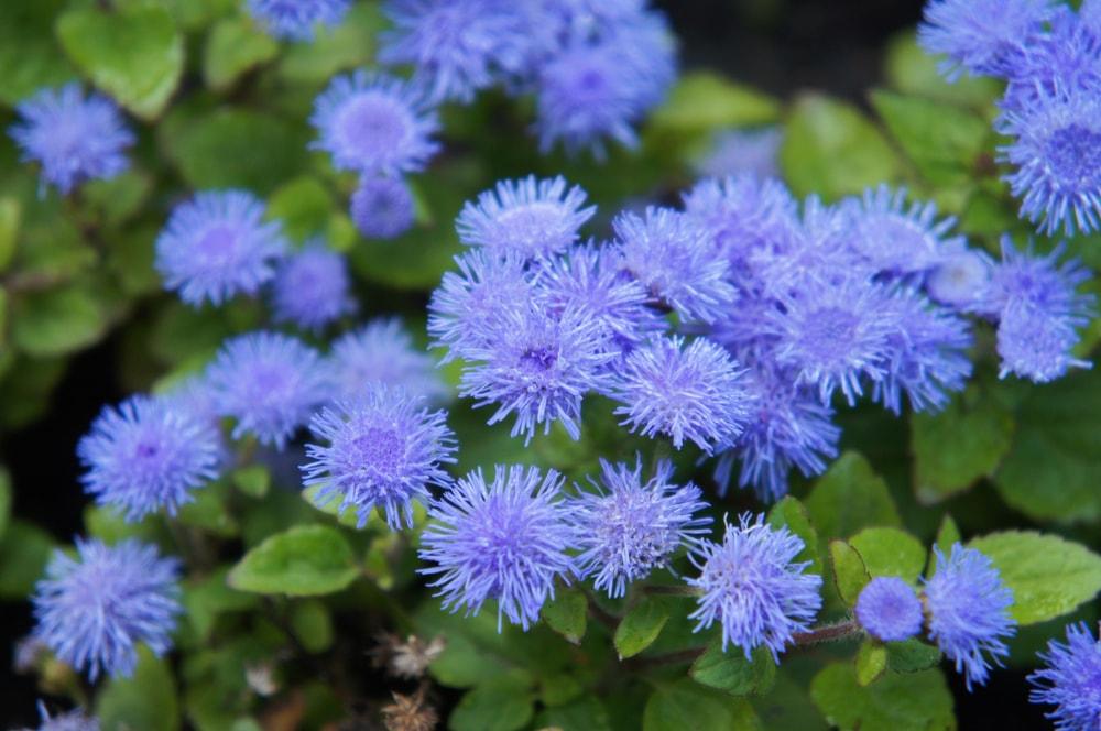 A cluster of purple Ageratum houstonianum.