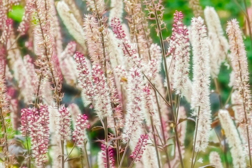 A close look at clusters of bugbane.