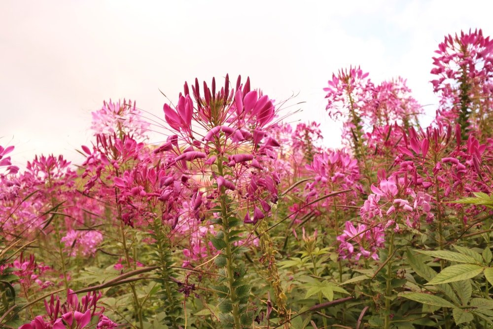 Clusters of colorful cleome in the garden.